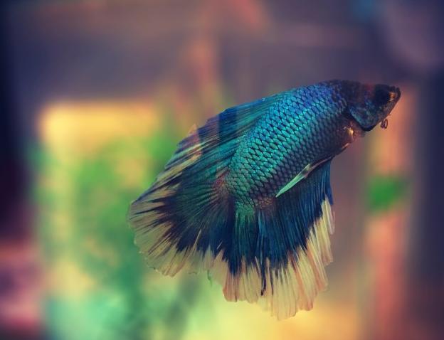 Jenis Ikan Hias Air Tawar Cupang