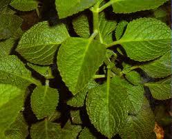 tanaman jintan atau ajeran
