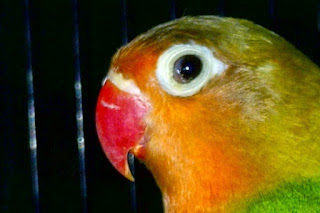Burung Lovebird - Penyakit-Penyakit yang Menghambat Penangkar Burung Lovebird - Penangkaran Burung Lovebird