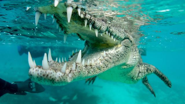 Crocodile teeth closeup