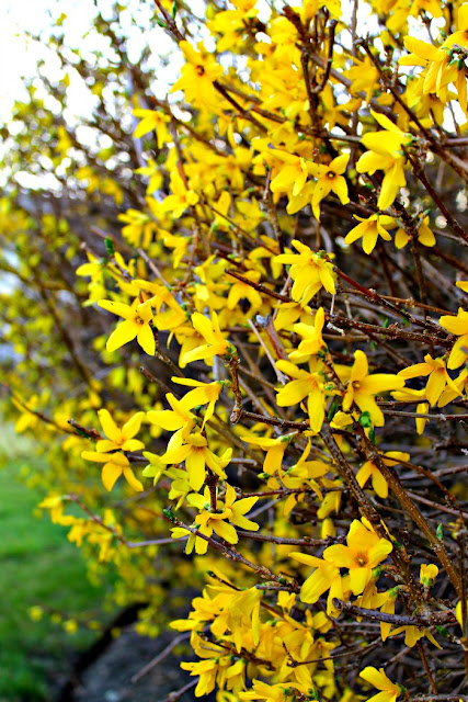Spring Must Have Items: Miss Lovie: Hello, Forsythia. It Must Be Spring