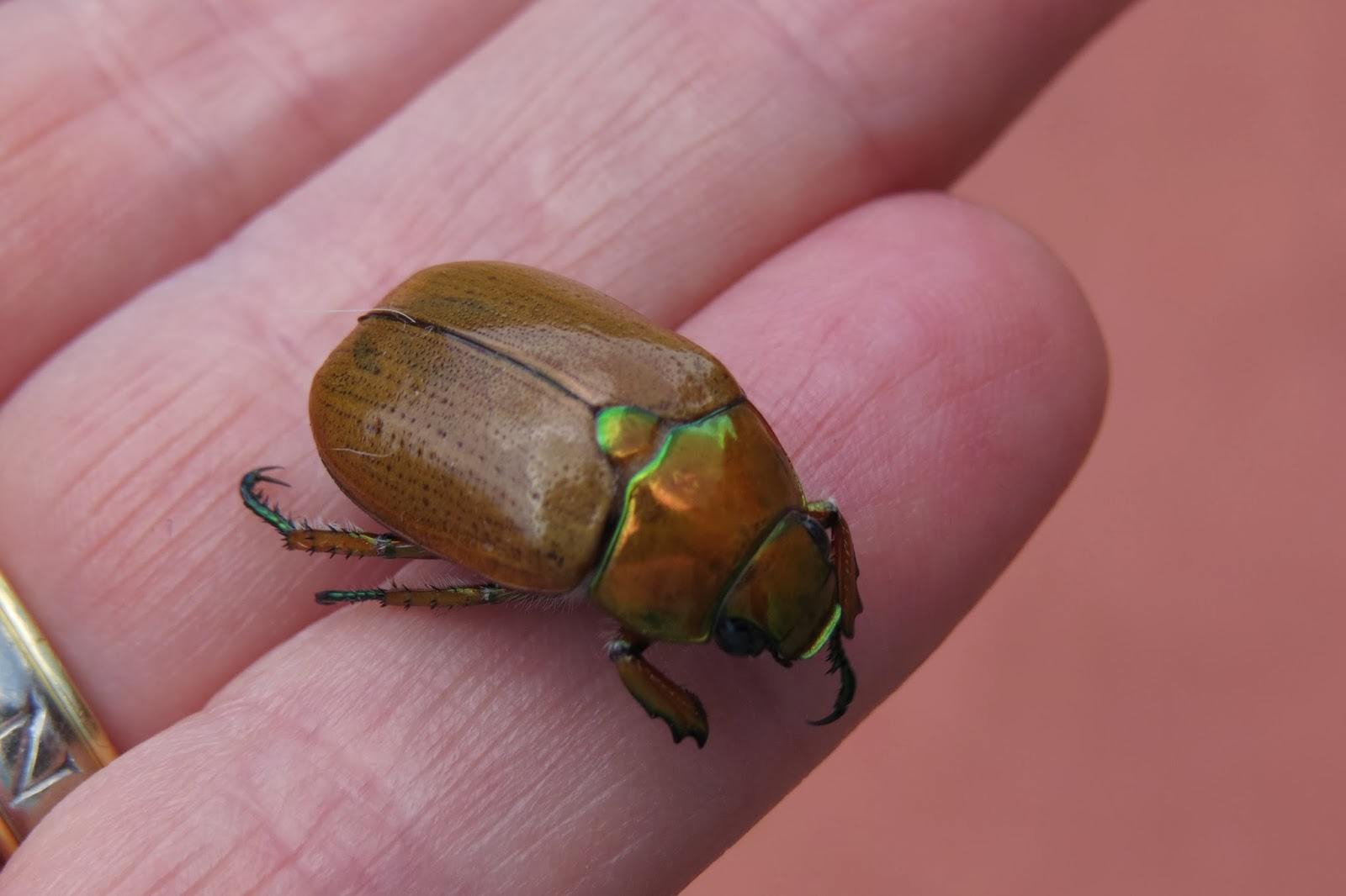 Christmas Beetle.A Strong Belief In Wicker Christmas Beetles