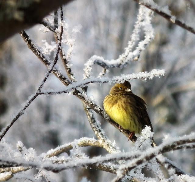 lintu, huurre, talvi, vihervarpunen