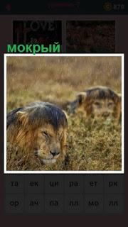 в траве лежат два тигра мокрых от дождя