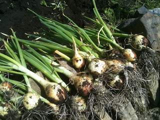 How to grow winter onions