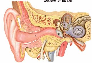 ciri ciri telinga yang kemasukan binatang