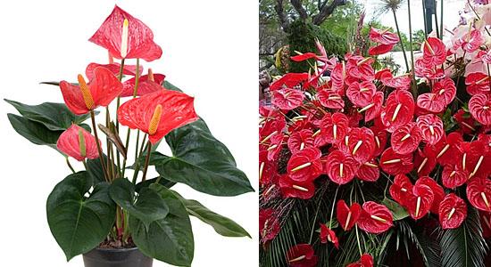 Plantas para purificar o ar - Antúrio - Anthurium