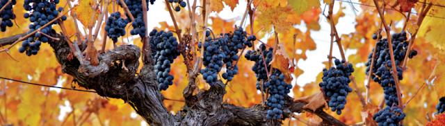 10 Cosas interesantes sobre el vino de Carménère