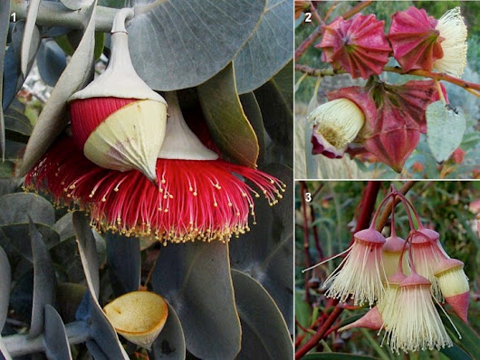 Eucalypt flowers and the land of wildfires