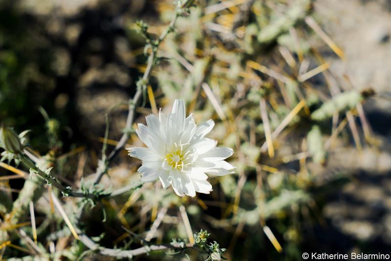 Desert Chicory Southern California Anza-Borrego Desert Wildflowers