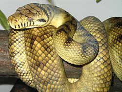 Amethystine scrub python (20 kaki)
