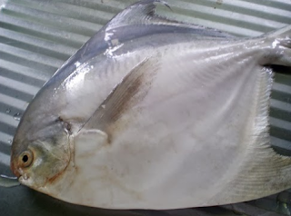 Ikan Bawal bintang merupakan salah satu jenis ikan air bahari  Kabar Terbaru- IKAN BAWAL BINTANG