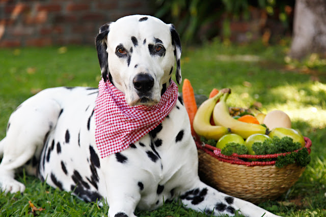 Dalmatian dog with harvest basket of fruits, vegetables and herbs