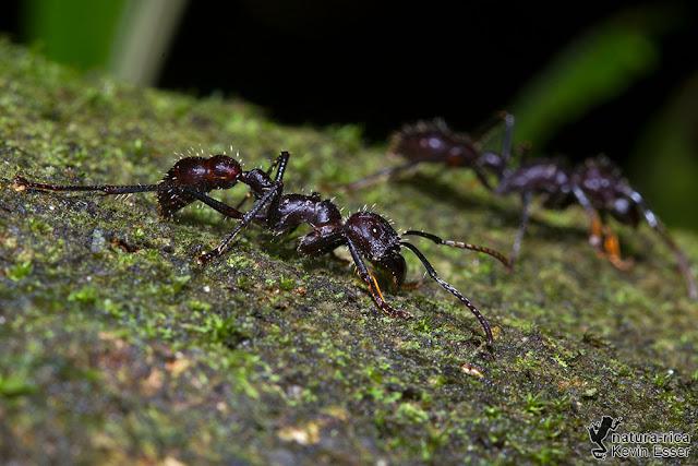 Bullet Ant - Paraponera clavata