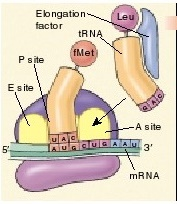 tRNA, sintesis protein, central dogma, AUG kodon