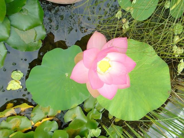 A PTE Botanikus Kertjében, a Pálmaház előtti tóban virágzik a Dél-, és Délkelet-Ázsiában honos csodálatos virágú indiai lótusz. Ez a vízinövény a keleti kultúrák kedvelt növénye, a buddhizmus szimbóluma. A tisztaság, a felvilágosodás, a megújulás és újjászületés jelképeként tisztelik szerte a világon. A növénynek minden része hasznosítható: gyöktörzse, levele és szirma ehető, az öntözőkanna rózsájára emlékeztető termése száraz kötészetben kedvelt díszítőelem. Magjai akár 1000 évig is csíraképesek maradnak. Csatoltan küldök egy fotót a növényről, további szíves felghasználásra.