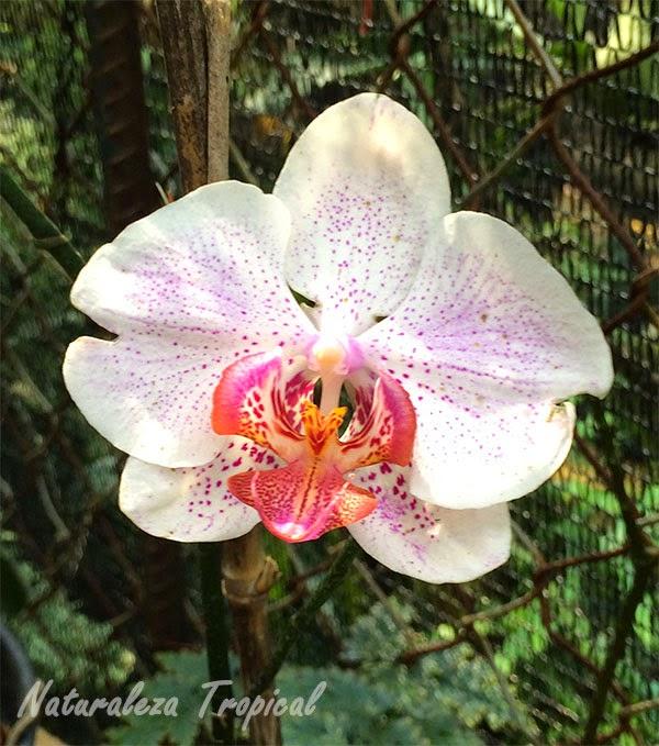 Variedad blanca con puntos rosados de la orquídea Mariposa, género Phalaenopsis