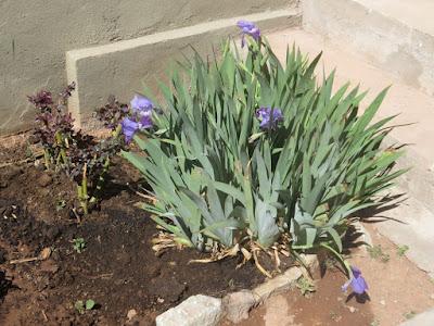 vorm Gemälde des Hl. Franz blühen die Lilien