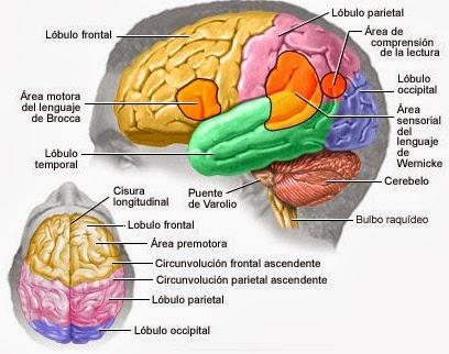 Áreas corticales su ubicación y función