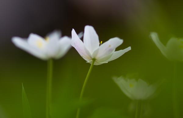 PauMau blogi valokuvaus photography luontokuva luontovalokuvaus nature puutarha kukka makrokuva flower macro macrophtography valkovuokko kevät vihreä green