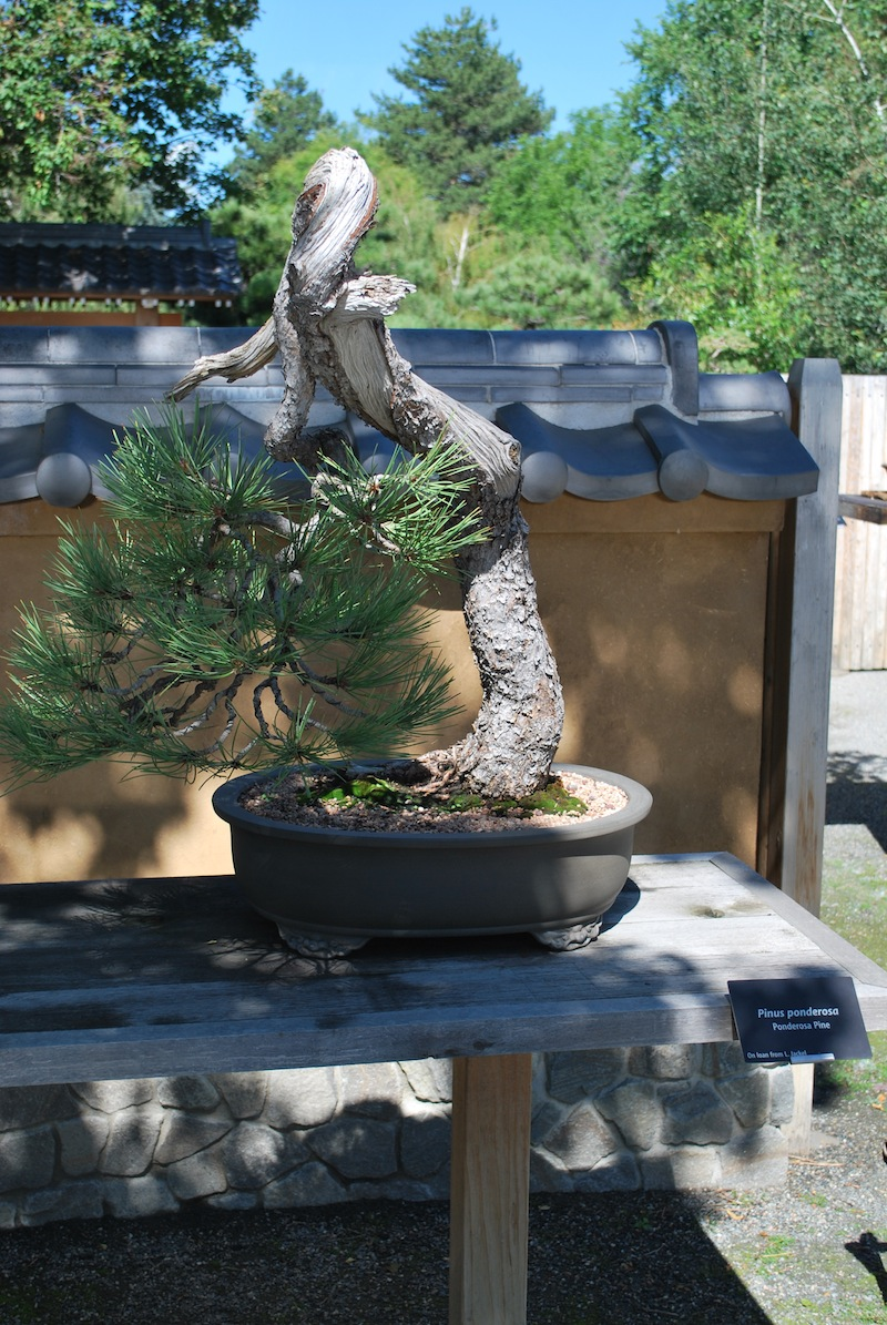 Larry Jackel Ponderosa Pines Author And International Bonsai Wiring Lesson Courtesy Of Society South New Jersey