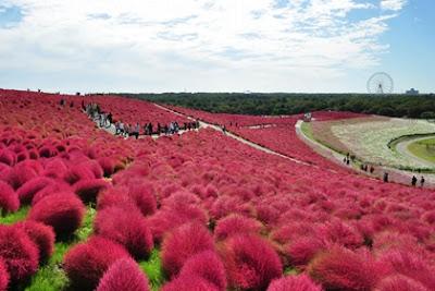 ทุ่งโคเชีย (Kochia) @ สวนฮิตาชิซีไซด์ (Hitachi Seaside Park) @ www.hitachikaihin.jp