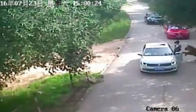 ¡Aterrador! un tigre la mató mientras paseaba por un safari en china