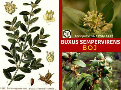 Buxus serpervirens, Boj. Esta Buxácea es de crecimiento lento y siempre verde