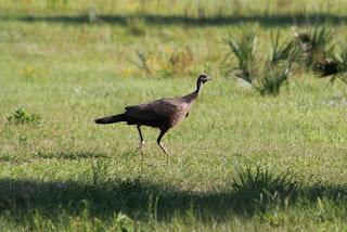 Wild Turkey o Pavo