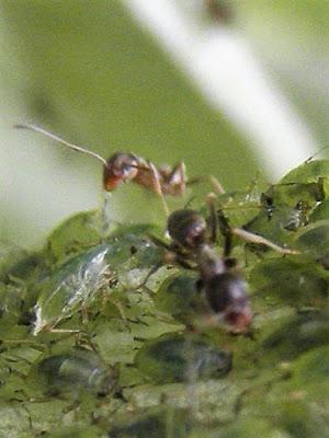 Hormiga recogiendo, una gota de melaza, que excretan un pulgon