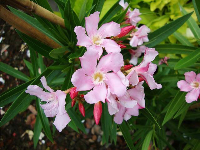 Hoa Cây Trúc Đào - Nerium oleander - Nguyên liệu làm thuốc Chữa bệnh Tim