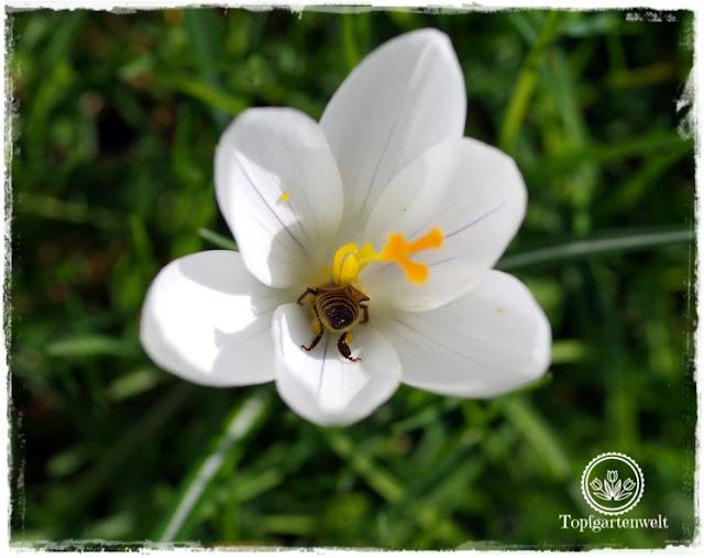 Gartenblog Topfgartenwelt Topfgarten + DIY mit Knagglig (Kiste) und Töpfen viel Platz auf kleinem Raum schaffen - Blumendeko mit Hornveilchen und Bellis passend für den Frühling und Ostern: Biene nascht Nektar Krokus