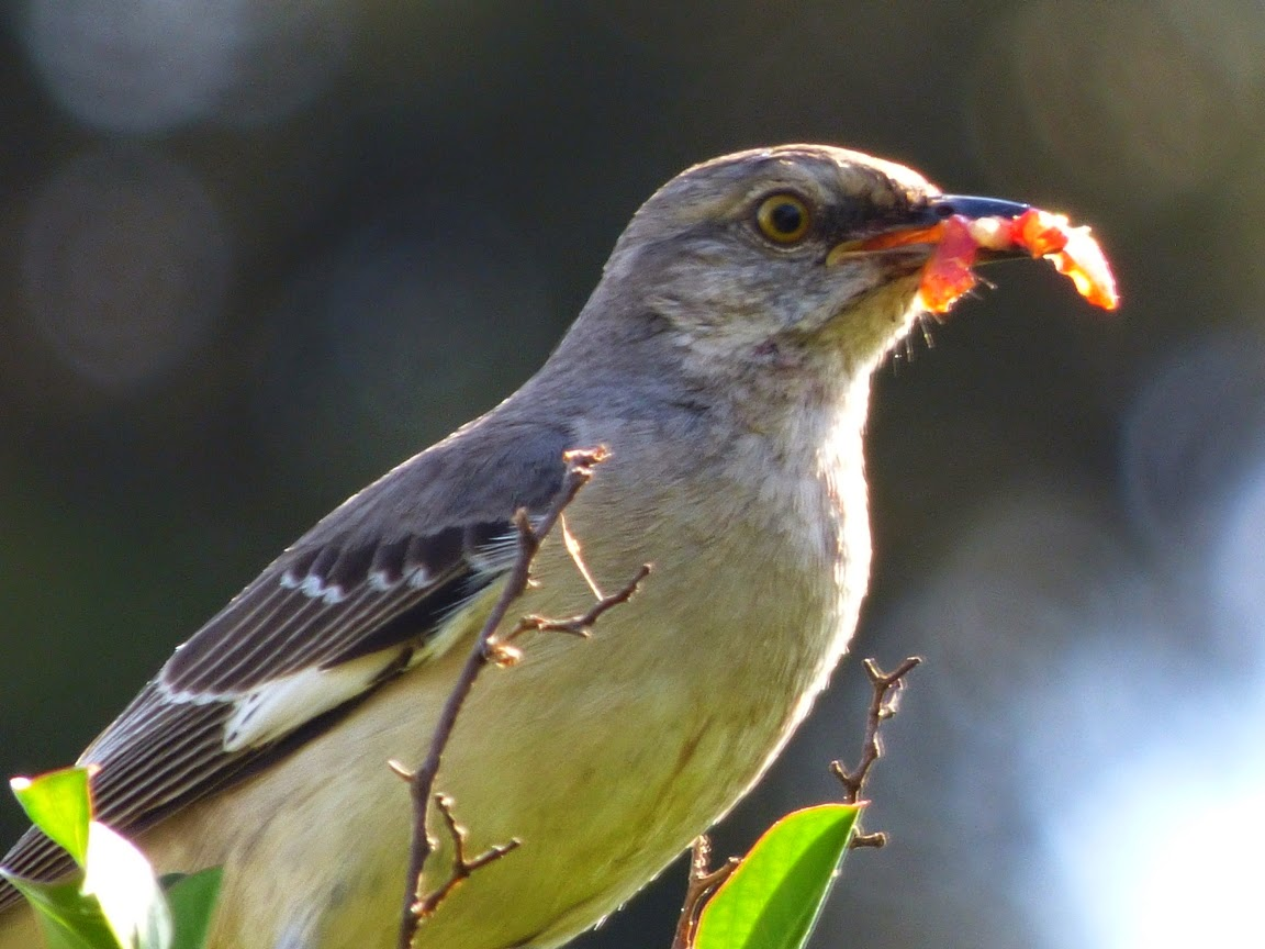 Geotripper's California Birds: Small Dinosaurs in the ...