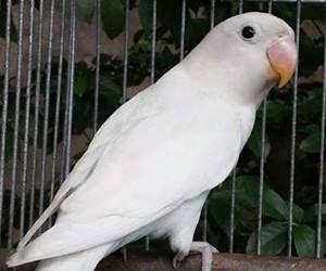 lovebird albino mata hitam