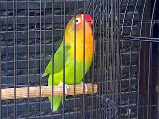 Burung Lovebird Jawara - Setingan Lovebird Agar Durasi Tambah Jadi 2 Menit Lebih
