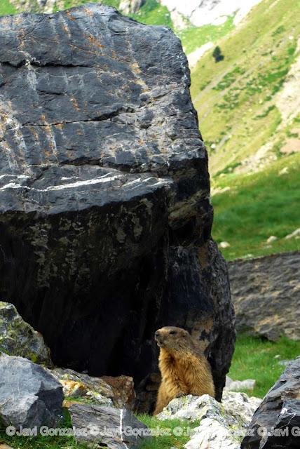 marmota, robiñera