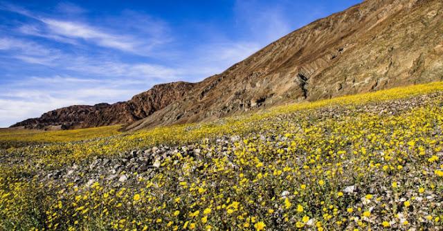 砂漠が一面花畑になる?スーパー・ブルームの美しい光景 【nat】 死の谷 デス・ヴァレー
