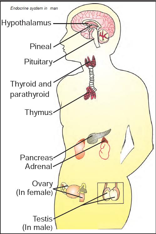Diagram Of The Human Endocrine System Glands, Diagram, Get ...