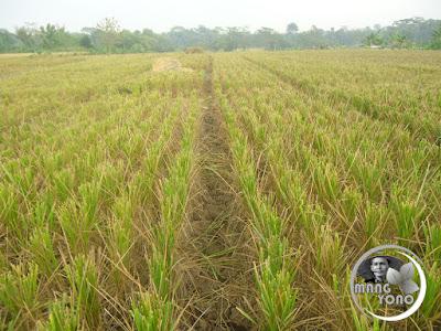 FOTO 2 : Padi telah dipanen. Batang padi bisa dibuat empet-empetan, sesempretan ( terompet )