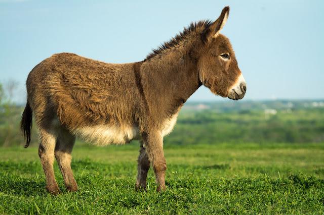 Miniature Donkey, Sugar Ridge Road