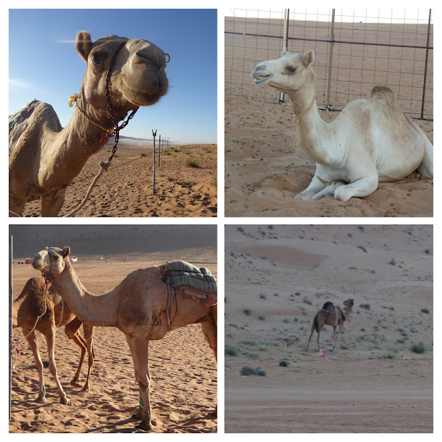dromedari nel deserto wahiba sands