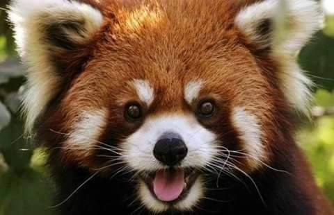 Panda in a different color - a wonderful animal