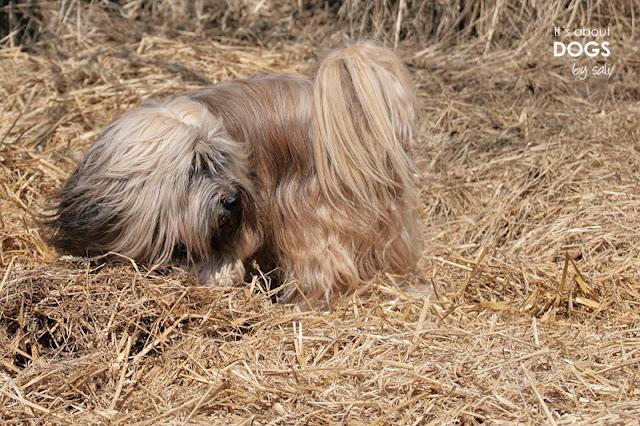 Tibet Terrier Chiru versinkt im Stroh