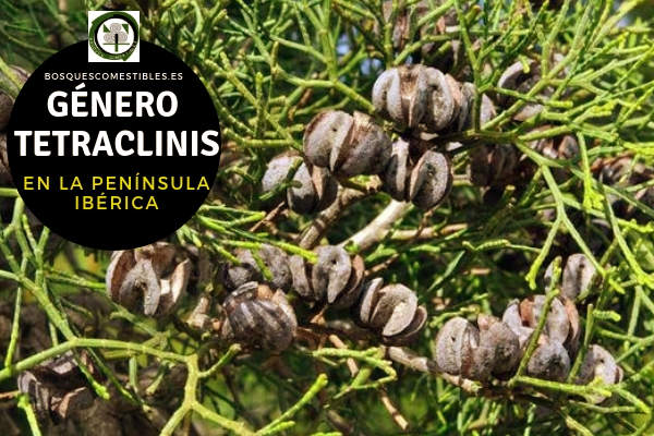 Lista de especies del Género Tetraclinis, Familia Cupresáceas en la Península Ibérica.