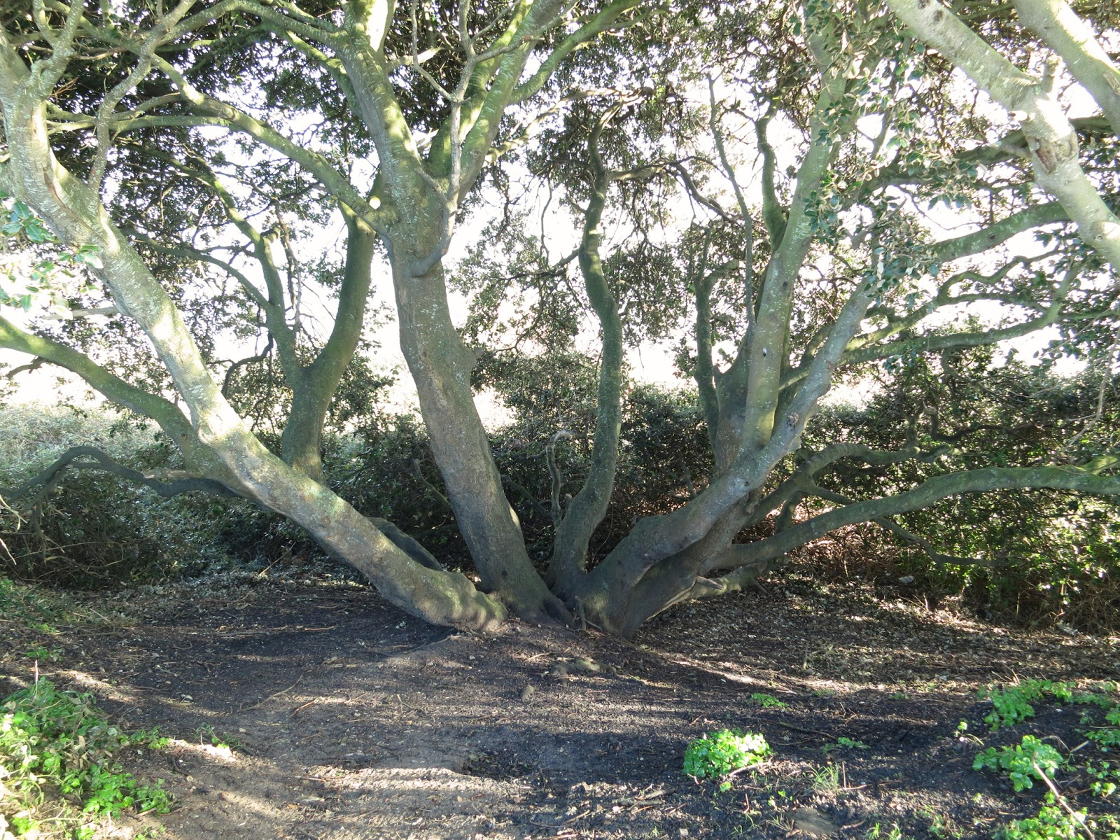 Holm Oak - Quercus Ilex - Dorset - February 12th 2014 - Base of the largest tree in the group