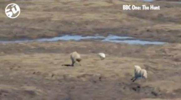 Ο λαγός που έκανε... χαζούς δυο λύκους!...VIDEO