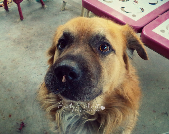 Rocky with a leaf on his nose, German Shepherd and Golden Retriever Mix