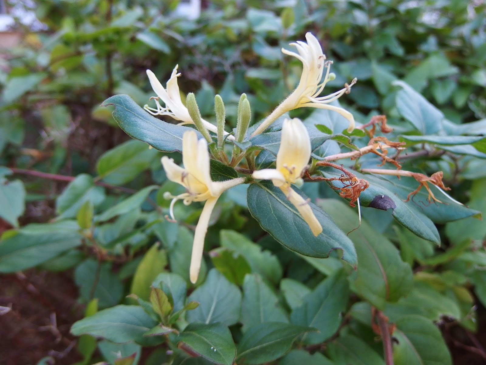Photo of Lonicera flowering unexpectedly in December