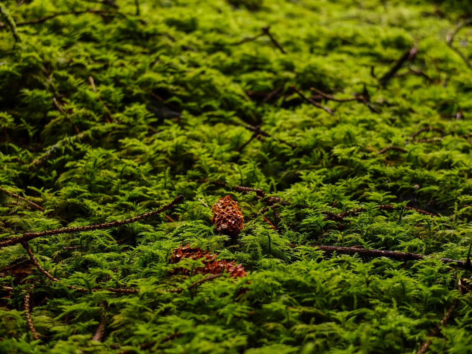 Two brown pine cones lying on a moss covered forest floor.