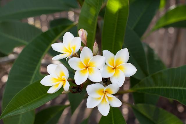 Beneficios de la flor de mayo o Plumeria rubra